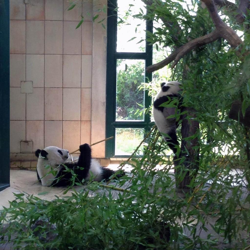 Pandy z vídeňské ZOO